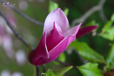 Virágzik a magnólia