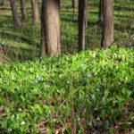 Orfűi medvehagyma mező