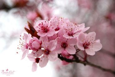 Virágzik a vérszilvafa