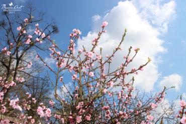 Virágba borultak a barackfáink