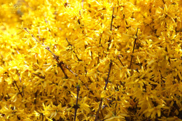 Virágba borult az aranyvessző